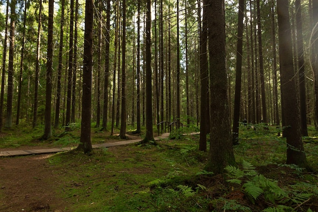 Hermoso y soleado paisaje de bosque de pinos a principios de otoño en rusia.