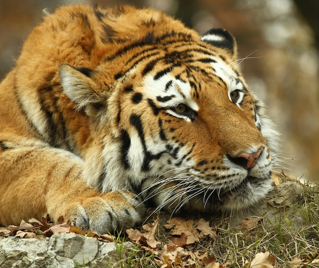 Hermoso tigre en safari zoológico