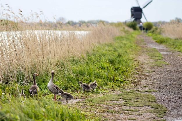 Hermoso tiro de patos cerca de un camino y hierba seca con un borroso