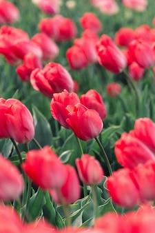 Hermoso tiro de tulipanes rojos que florece en un gran campo agrícola