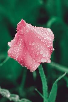 Hermoso tulipán con gotas de rocío de la mañana.