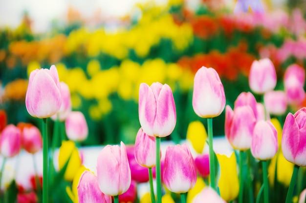 Hermoso de tulipán en invierno.