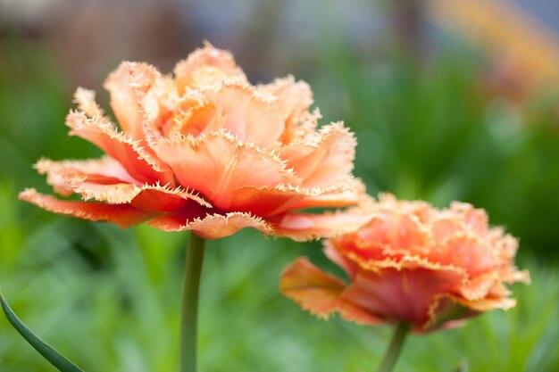Hermoso tulipán naranja terry