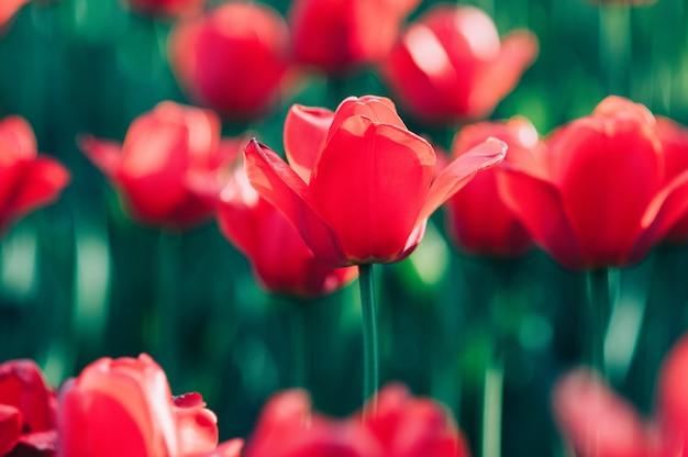 Hermoso tulipán rojo en flor, telón de fondo borroso