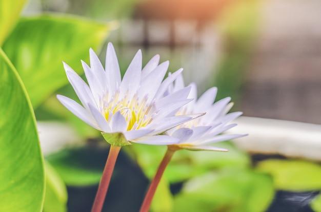 Hermoso waterlily o flor de loto escena en el campo