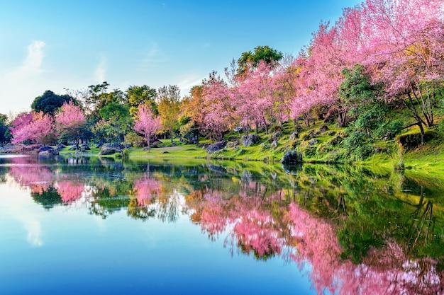 Hermosos árboles de cerezos en flor que florecen en primavera.