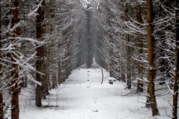 Hermosos árboles cubiertos de nieve en el bosque