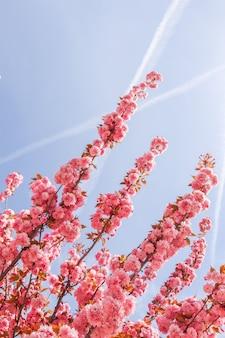 Hermosos árboles de sakura o cerezos con flores rosadas en primavera contra el cielo azul