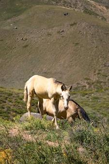 Hermosos caballos salvajes en las montañas
