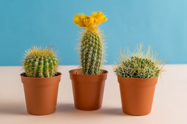 Hermosos cactus con flor