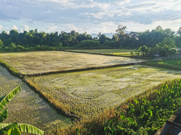 Hermosos campos de arroz contra el cielo nublado