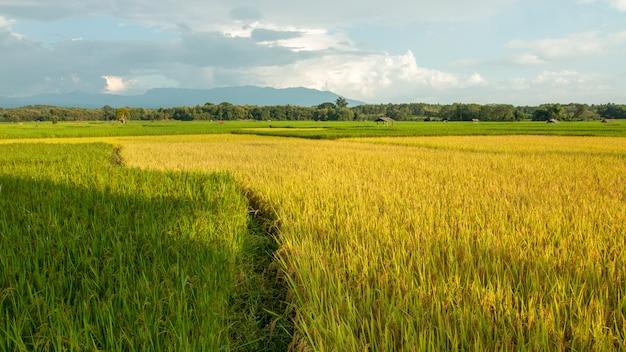 Hermosos campos de arroz natural amarillo y verde