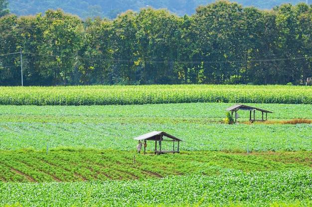 Hermosos campos de maíz de color verde con la montaña.