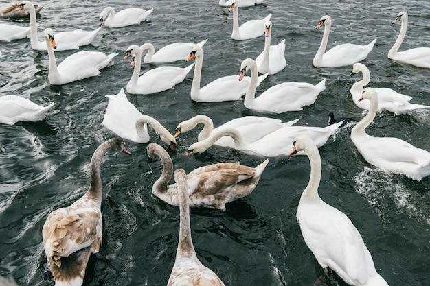 Hermosos cisnes nadando en el río.