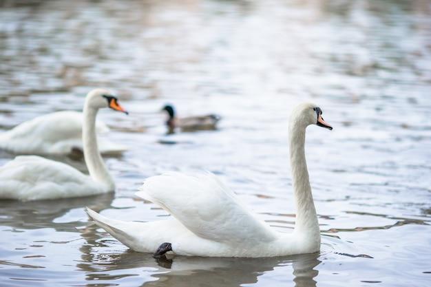 Hermosos cisnes en el río vltava de praga y el puente de carlos en el fondo. karluv most y cisnes blancos