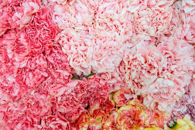 Hermosos claveles rosados. fondo floral