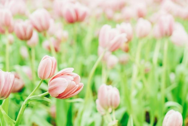 Hermosos y coloridos tulipanes en el jardín