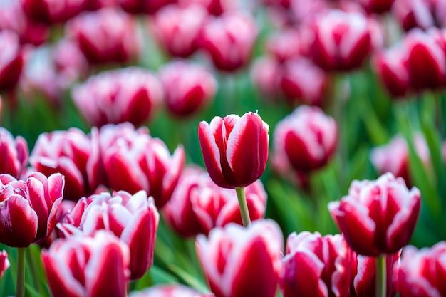 Hermosos coloridos tulipanes rosados y blancos