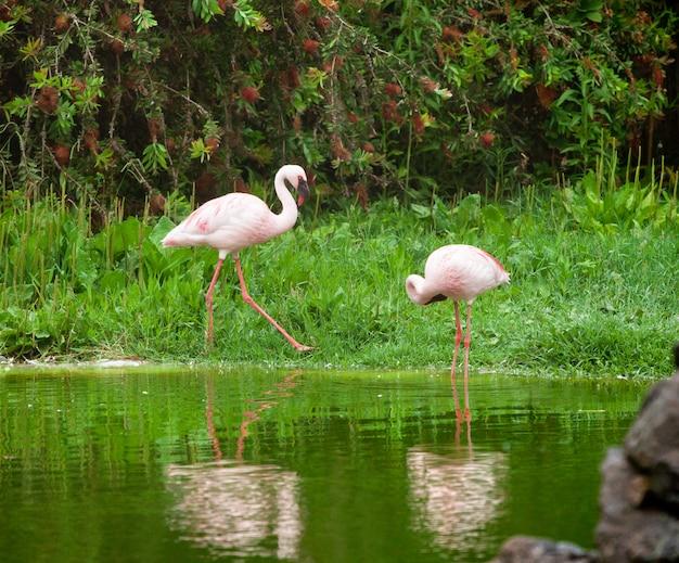 Hermosos flamencos rosados