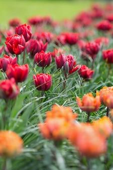 Hermosos galardonados tulipanes princesa roja y princesa naranja en el jardín.