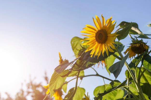 Hermosos girasoles amarillos florecen en un campo con cielo azul