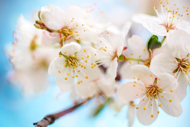 Hermosos manzanos en flor en el jardín de primavera. de cerca.