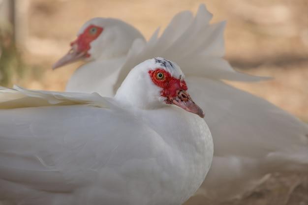 Hermosos patos blancos sentados
