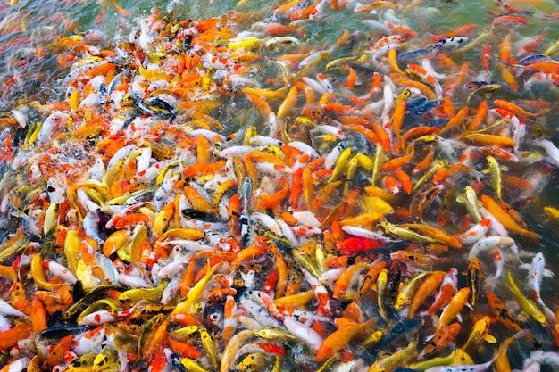 Hermosos peces koi nadando en un estanque en el jardín