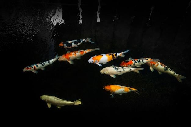 Hermosos peces koi nadando en el estanque