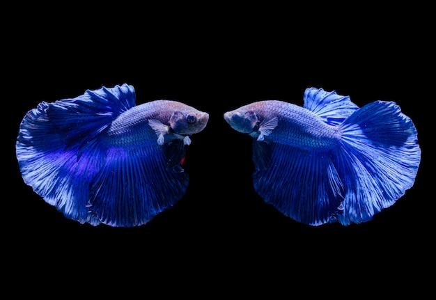 Hermosos peces luchadores siameses azules