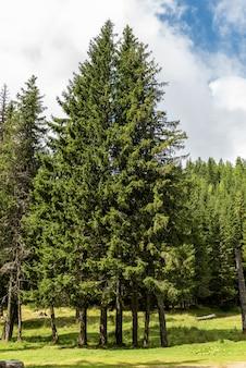 Hermosos pinos de hoja perenne