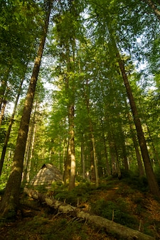 Hermosos pinos verdes en las montañas de los cárpatos en ucrania