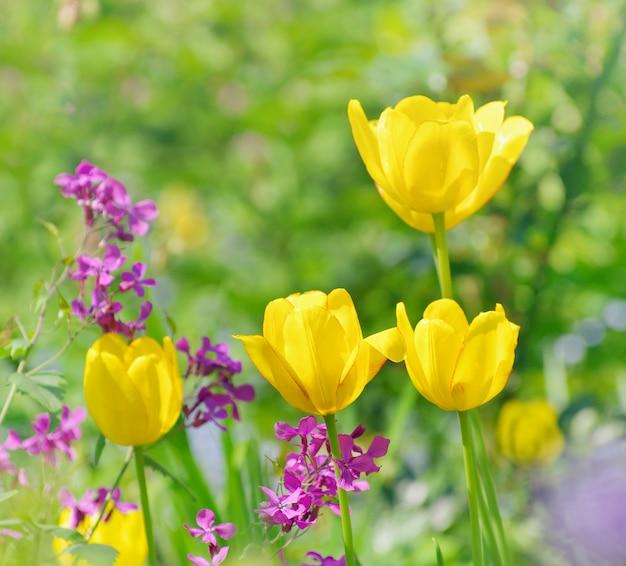 Hermosos tulipanes amarillos en verde bokeh