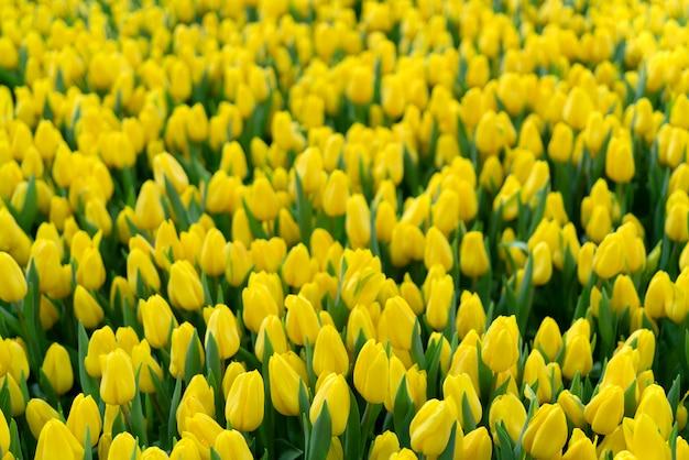Hermosos tulipanes amarillos.