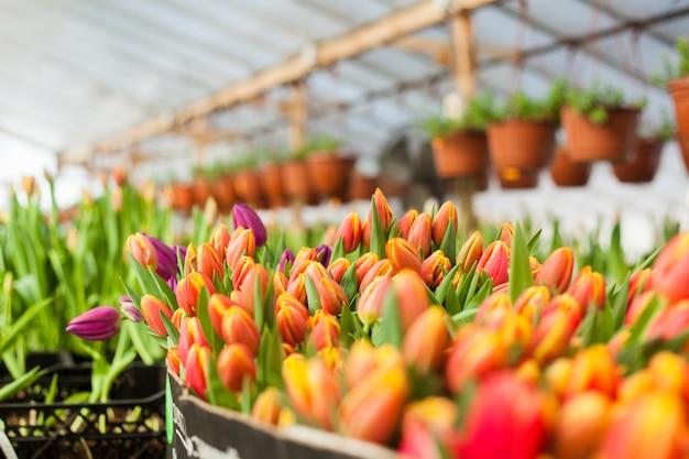 Hermosos tulipanes cultivados en un invernadero