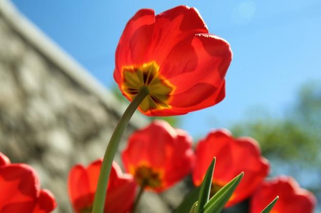 Hermosos tulipanes florecientes en primavera al aire libre