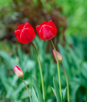 Hermosos tulipanes rojos en la naturaleza