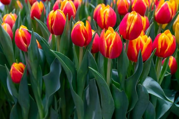 Hermosos tulipanes rojos.