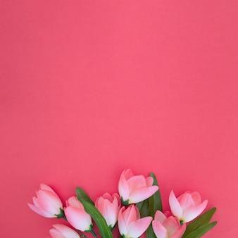 Hermosos tulipanes sobre fondo rosa