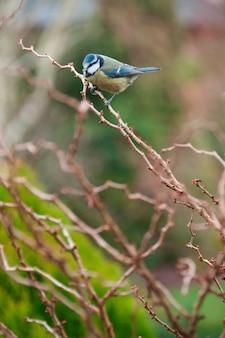 Un herrerillo en una rama