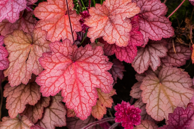 Heuchera. familia de saxifragaceae. de cerca. macro. tallado hojas brillantes de heuchera en un jardín.