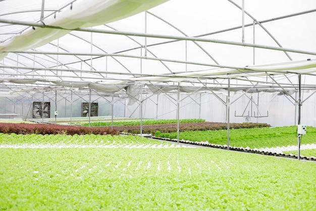 Hidropónico de la granja de lechugas en invernadero.