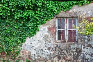 Hiedra cubrió la pared grungy
