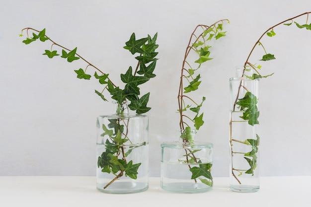 Hiedra en tres tipos diferentes en florero de vidrio sobre fondo blanco
