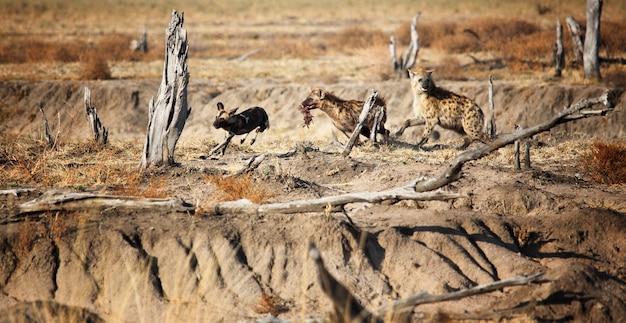 Hiena y lycaon luchan por comida