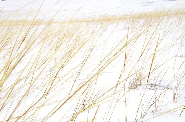 Hierba amarilla seca en las dunas o campo cubierto de nieve