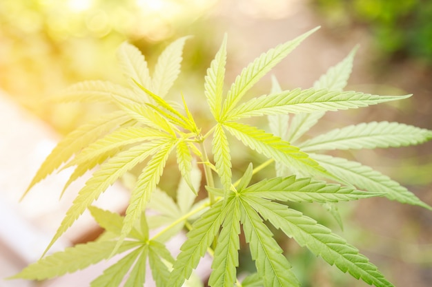 Hierba de árbol de cannabis en casa para un buen remedio sano.