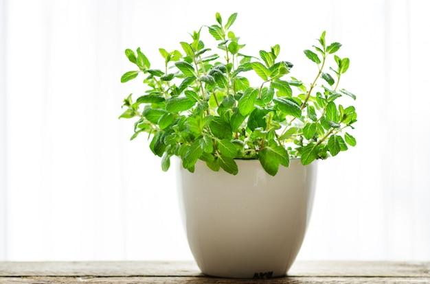 Hierba aromática fresca verde melisa, menta en olla blanca. bandera. copyspace