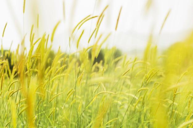 Hierba borrosa en el viento