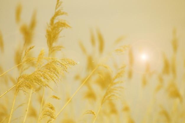 Hierba de caña en flor, nombre científico phragmites australis, deliberadamente borrosa, balanceándose suavemente en el viento en la orilla de un estanque, primer plano de viento fondo naranja blanco y negro
